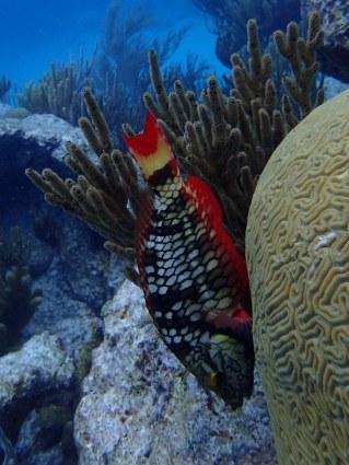 Stoplight Parrotfish - female
